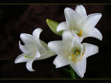 Lily by LynEve, Photography->Flowers gallery