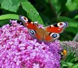 Peacock Butterfly by biffobear, photography->butterflies gallery
