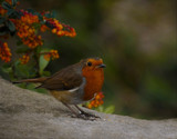 Hiya Richie by biffobear, photography->birds gallery
