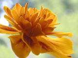 Marigold in Window by theradman, Photography->Flowers gallery