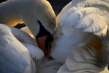 Close To The Swan by braces, Photography->Birds gallery
