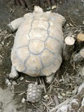 Big Turtle and Small Turtle by ventiol, photography->animals gallery