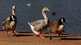 Geese On Parade by braces, photography->birds gallery