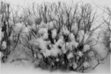 Snow bushes by coram9, photography->nature gallery