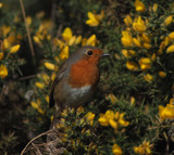 A bird in the Bush by biffobear, photography->birds gallery