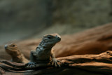 Baby Iguana by mia04, Photography->Reptiles/amphibians gallery