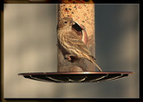 """""""Popeye"""" by Jimbobedsel, Photography->Birds gallery"""