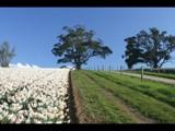 Daffodil Farm by Steb, Photography->Landscape gallery