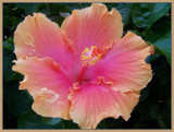 Hibiscus. by SusanVenter, Photography->Flowers gallery