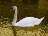 Swan in a golden pond by inadequate, photography->manipulation gallery