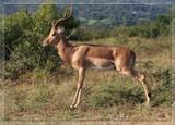 Impala by mmynx34, Photography->Animals gallery