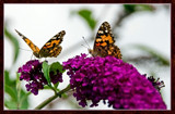 From My Wife's Garden, Two Of A Kind by corngrowth, Photography->Butterflies gallery