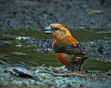 Male Crossbill by biffobear, photography->birds gallery