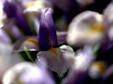 Iris in Spring 1985 by photoimagery, Photography->Flowers gallery