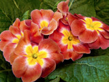 New Primrose Color by trixxie17, photography->flowers gallery