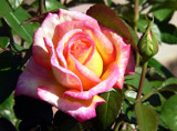 A rose of many colors by ted3020, Photography->Flowers gallery