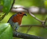 Graveyard Robin by biffobear, photography->birds gallery