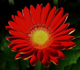 Gerbera Rouge by ccmerino, Photography->Flowers gallery