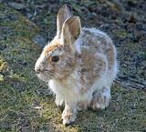 """""""Jack-Rabbits Everywhere This Morning"""" by icedancer, photography->animals gallery"""