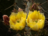 yellow cactus flowers by jeenie11, Photography->Flowers gallery