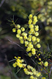 Wattle II by Samatar, photography->flowers gallery