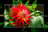 Dahlia Show 48 by corngrowth, photography->flowers gallery