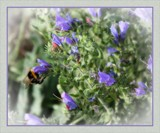 A Bee In The Bugloss by LynEve, photography->flowers gallery