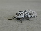 Giant Leopard Moth by Jimbobedsel, photography->butterflies gallery