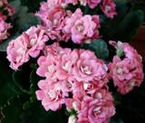 Calandiva by trixxie17, photography->flowers gallery