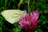 Cabbage butterfly by rozem061, Photography->Butterflies gallery