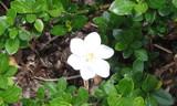 Gardenia Bush by aobrien1, photography->flowers gallery