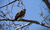 Red Tailed Hawk by nmsmith, Photography->Animals gallery