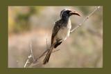 African Grey Hornbill by mmynx34, Photography->Birds gallery