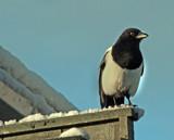 Not Turdus Merula by biffobear, Photography->Birds gallery