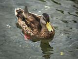quack by jeenie11, Photography->Birds gallery