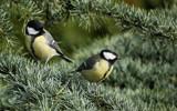 Great Tits by Paul_Gerritsen, photography->birds gallery