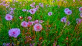Dandelions Intensified by galaxygirl1, photography->flowers gallery