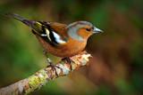 Fringilla coelebs by biffobear, photography->birds gallery