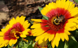 Mexican Blanket Flowers by Pistos, photography->flowers gallery