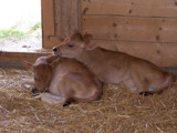 Bovine Valentine by love_doc, Photography->Animals gallery