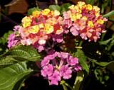 Lantana by trixxie17, photography->flowers gallery