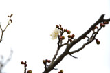 a white plum blossom by dojum, photography->flowers gallery