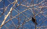 Blackbird by Eubeen, photography->birds gallery