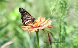 Ruby's Wildflower Garden #2 by tigger3, photography->butterflies gallery