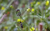Eastern Pondhawk by 100k_xle, Photography->Insects/Spiders gallery