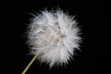 Dandelion by elektronist, photography->macro gallery