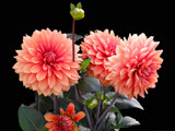 Dahlias & Buds by Ramad, photography->flowers gallery