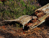 Woodpecker by biffobear, photography->birds gallery