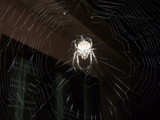Web master at night. by sahadk, Photography->Insects/Spiders gallery
