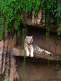 Eyes of the White Tiger by ccmerino, Photography->Animals gallery